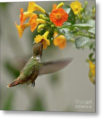 Hummingbird Sips Nectar Metal Print by Heiko Koehrer-Wagner