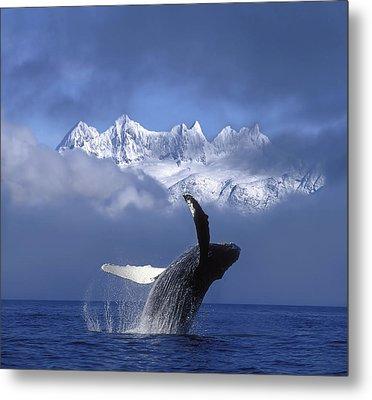 Humpback Whale Breaches In Clearing Fog Metal Print by John Hyde