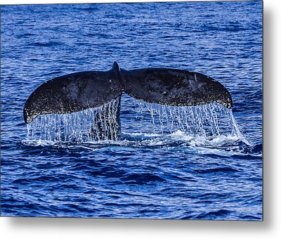 Humpback Whale Tail Fluke During Deep Dive Metal Print by Puget  Exposure