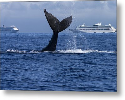 Humpback Whale Tail Lobbing In Maui Metal Print by Flip Nicklin