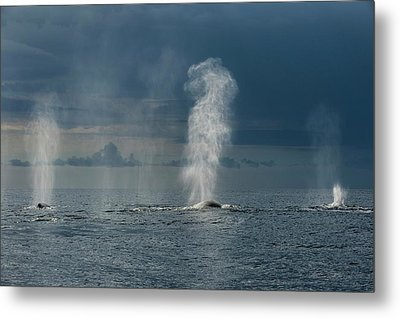 Humpback Whales Blowing Metal Print by Christopher Swann