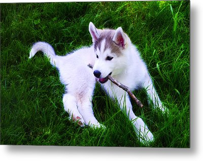 Huskie Pup Playing Fetch Metal Print by Bill Cannon