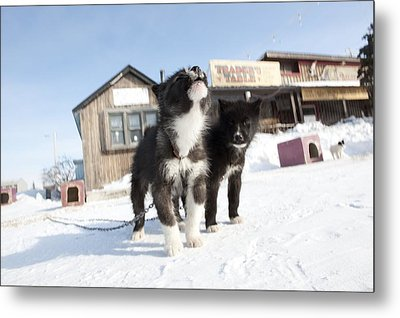 Husky Sled Dog Puppies Metal Print by Science Photo Library
