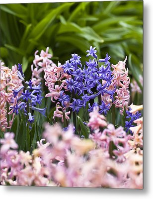 Hyacinth Garden Metal Print by Frank Tschakert