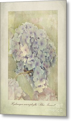 Hydrangea Macrophylla Blue Bonnet Metal Print by John Edwards