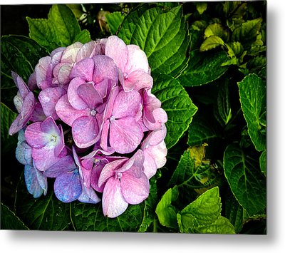 Hydrangea Singapore Flower Metal Print by Donald Chen