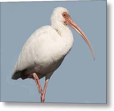 Ibis Up Close Metal Print by Paulette Thomas