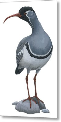 Ibisbill Metal Print by Anonymous
