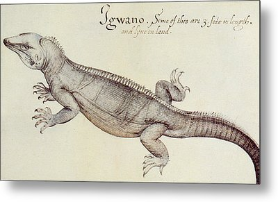 Iguana Metal Print by John White