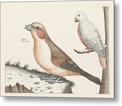In The Foreground A Crossbill, Right On A Branch A White Metal Print by Anonymous