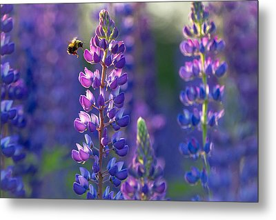 In The Land Of Lupine Metal Print by Mary Amerman