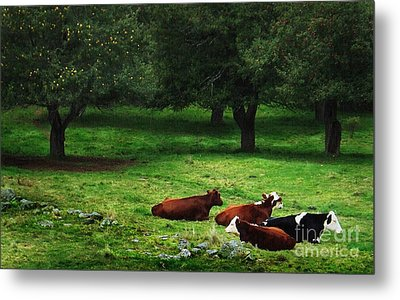 In The Orchard Cows Are Resting Metal Print by Joy Nichols