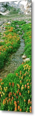 Indian Paintbrush Wildflowers Metal Print by Panoramic Images