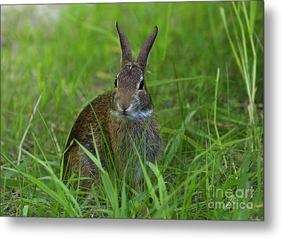Inquisitive Rabbit Watching You Metal Print by Inspired Nature Photography Fine Art Photography