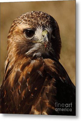 Red Tailed Hawk Portrait Metal Print by Robert Frederick