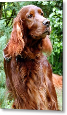 Irish Setter Metal Print by Anna Kennedy