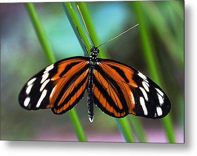 Ismenius Tiger Butterfly Metal Print by Cheryl Cencich
