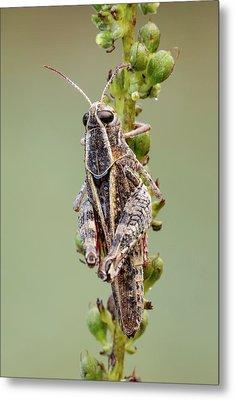 Italian Locust Metal Print by Heath Mcdonald
