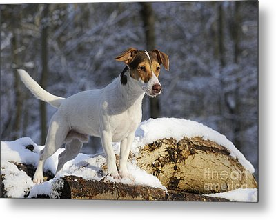 Jack Russell Terrier In Snow Metal Print by John Daniels