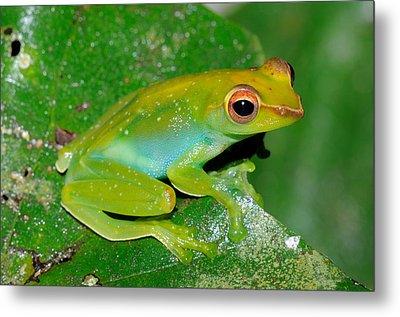 Jade Tree Frog, Malaysia Metal Print by Fletcher & Baylis