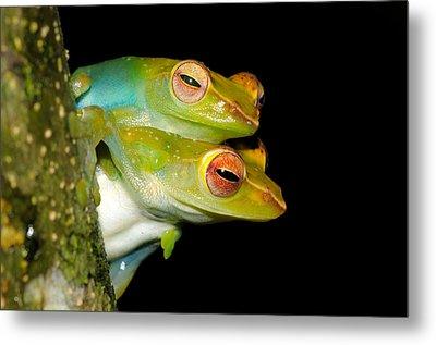 Jade Tree Frogs Mating Metal Print by Fletcher & Baylis