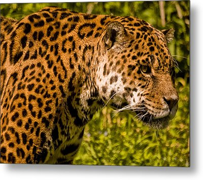 Jaguar - Panthera Onca Metal Print by Jay Lethbridge