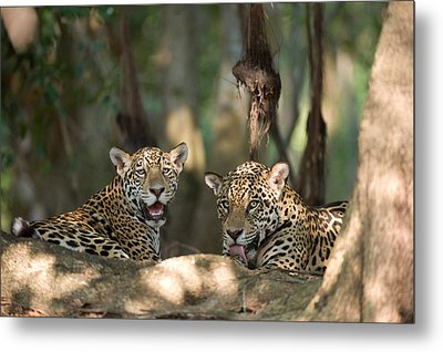 Jaguars Panthera Onca Resting Metal Print by Panoramic Images