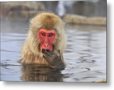 Japanese Macaque In Hot Spring Metal Print by Thomas Marent