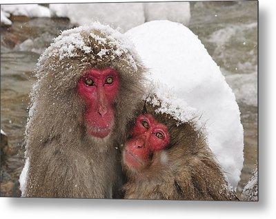 Japanese Macaque Pair Jigokudani Nagano Metal Print by Thomas Marent