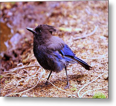 Jay  Metal Print by Jeff Swan
