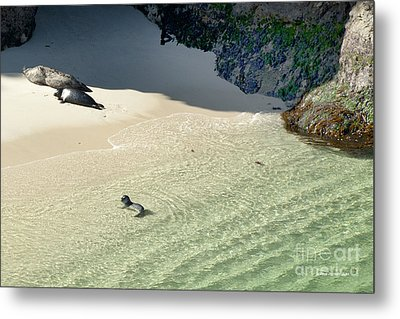 Just Born Baby Sea Lion Pup With Mom And Dad Napping On The Beach Metal Print by Artist and Photographer Laura Wrede