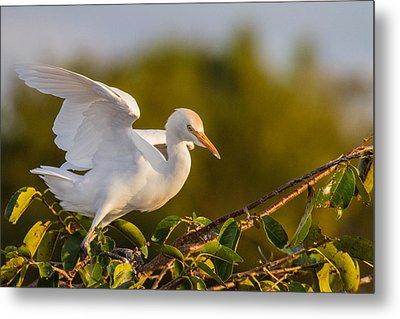 Juvenile Cattle Egret Metal Print by Andres Leon