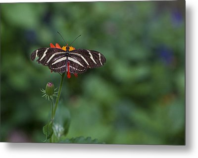 Kanapaha Butterfly I Metal Print by Charles Warren