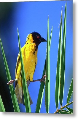 Kenya Masked Weaver Bird Grasps Leaves Metal Print by Jaynes Gallery
