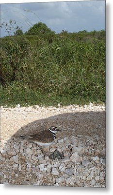 Killdeer Defending Nest Metal Print by Gregory G. Dimijian
