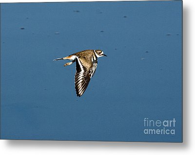 Killdeer In Flight Metal Print by Anthony Mercieca