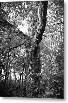 King Of The Timber Bw Metal Print by Garren Zanker