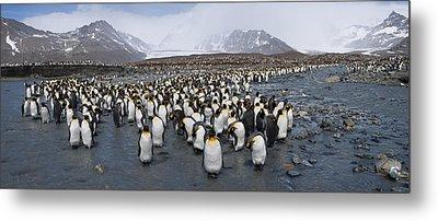 King Penguins Aptenodytes Patagonicus Metal Print by Panoramic Images
