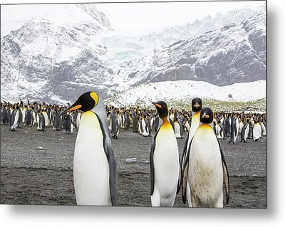 King Penguins On The Beach Metal Print by Ashley Cooper