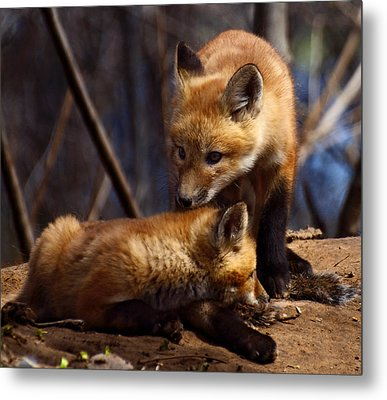 Kit Foxes Metal Print by Thomas Young