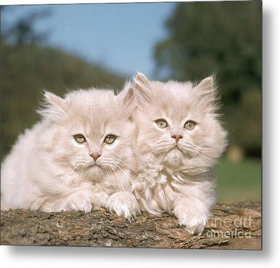Kittens Metal Print by Hans Reinhard