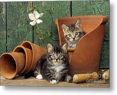 Kittens In Flowerpots Metal Print by John Daniels