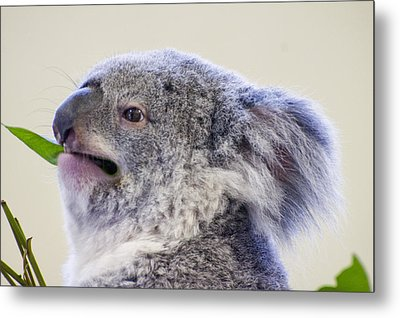 Koala Close Up Metal Print by Chris Flees
