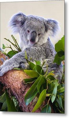 Koala On Top Of A Tree Metal Print by Chris Flees