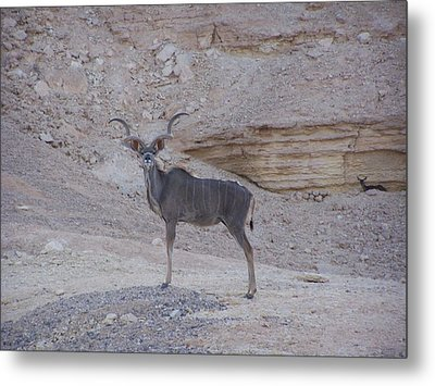Kudu King Metal Print by Noreen HaCohen
