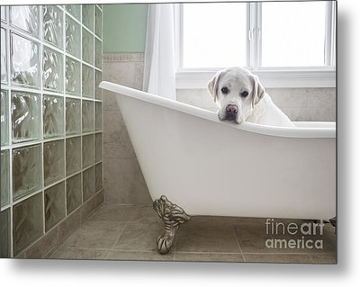 Lab In A Bathtub Metal Print by Diane Diederich