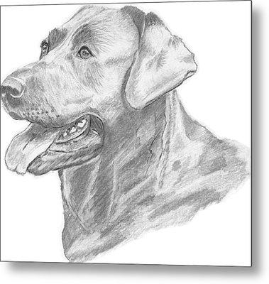 Labrador Dog Drawing Metal Print by Catherine Roberts