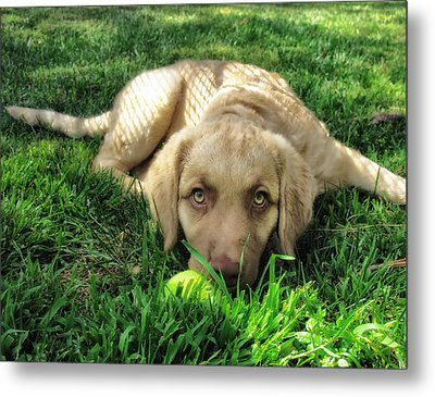Labrador Puppy Metal Print by Larry Marshall