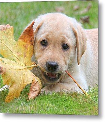 Labrador Retriever Puppy With Autumn Leaf Metal Print by Jennie Marie Schell