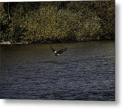 Landing Eagle Metal Print by Thomas Young